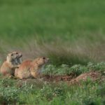 Prairie Dog Family #2