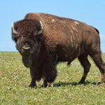 The Happy-Dancing Badlands Bison