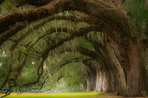 Live Oak Trees, South Carolina