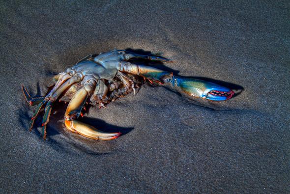 Blue Crab on Jekyll Island, Georgia
