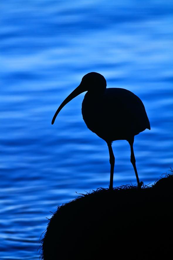Ibis, Titusville, Florida