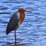 The Crazy Dance of the Reddish Egret