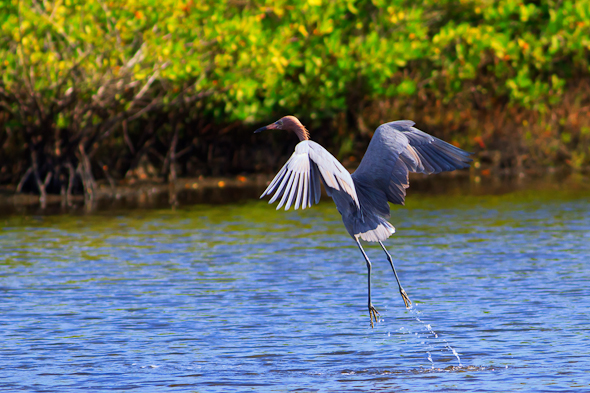 Reddish Egret, Merritt Island Wildlife Refuge, Florida