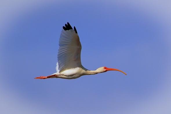Ibis, Merritt island Wildlife Refuge, Florida