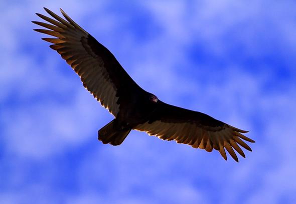 Vulture, Merritt island Wildlife Refuge, Florida