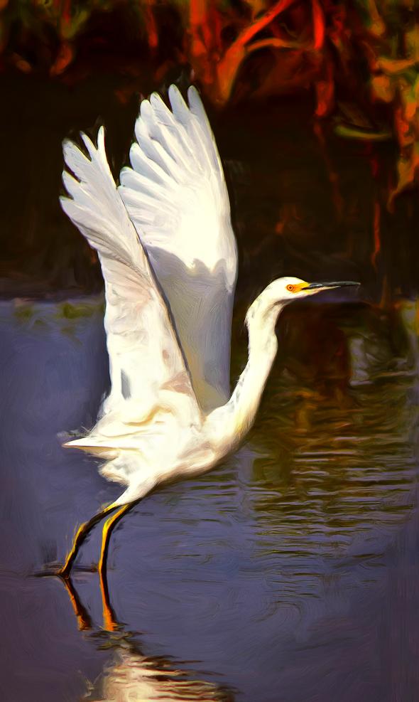 Snowy Egret, Merritt Island Wildlife Refuge, Florida