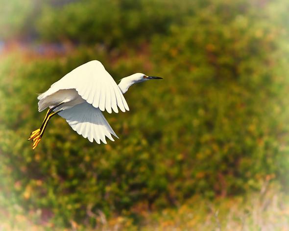 Egret, Merritt island Wildlife Refuge, Florida
