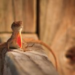Brown Anole, Merritt Island Wildlife Refuge, Florida