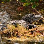 Alligator, Merritt Island Wildlife Refuge, Florida
