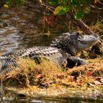Alligator, Merritt Island Wildlife Refuge, Florida