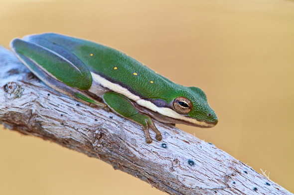 Tree Frog, Everglades National Park, Florida