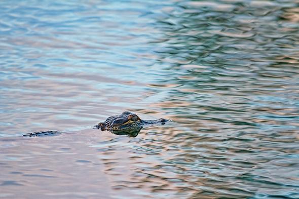 Alligator, Everglades National Park, Florida