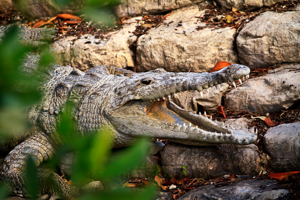 Crocodile, Everglades National Park, Florida