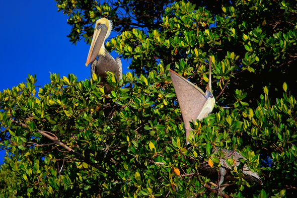 Pelicans, Everglades National Park, Florida