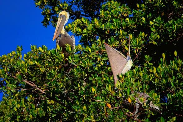 Pelicans, Everglades National Park, Florida