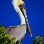 Early Rise for the Pelican