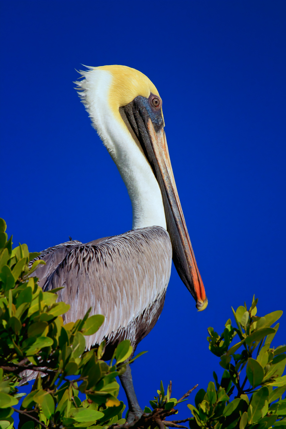 Pelican, Everglades National Park, Florida