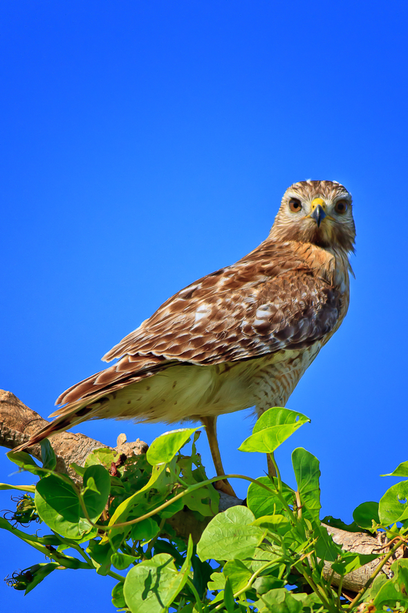 Red Shouldered Hawk, Everglades National Park, Florida