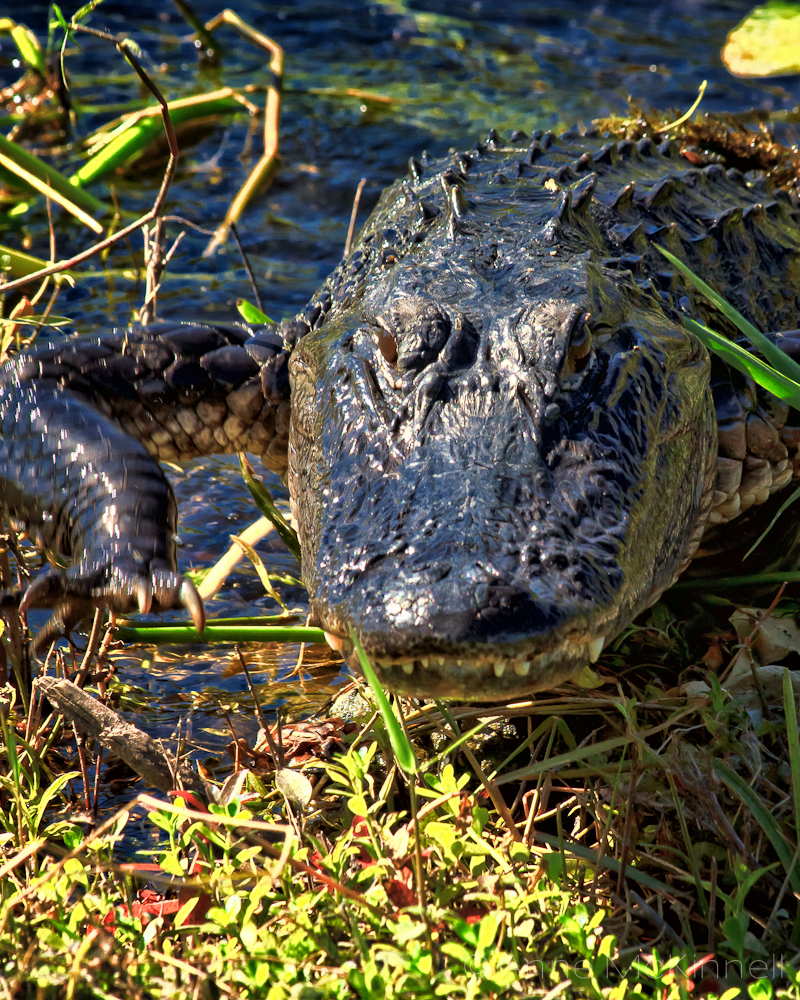 is that an alligator or a crocodile anne mckinnell photography