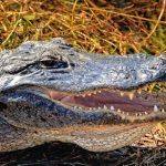 Is That An Alligator Or A Crocodile?