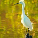 Snowy Egret, Ding Darling Wildlife Refuge, Florida