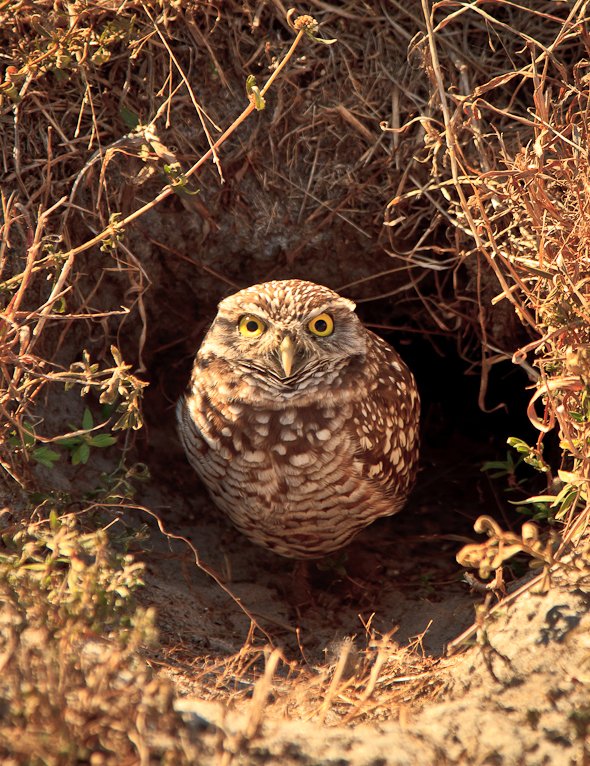 Burrowing Owl, Cape Coral, Florida