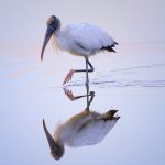 Wood Stork Reflection