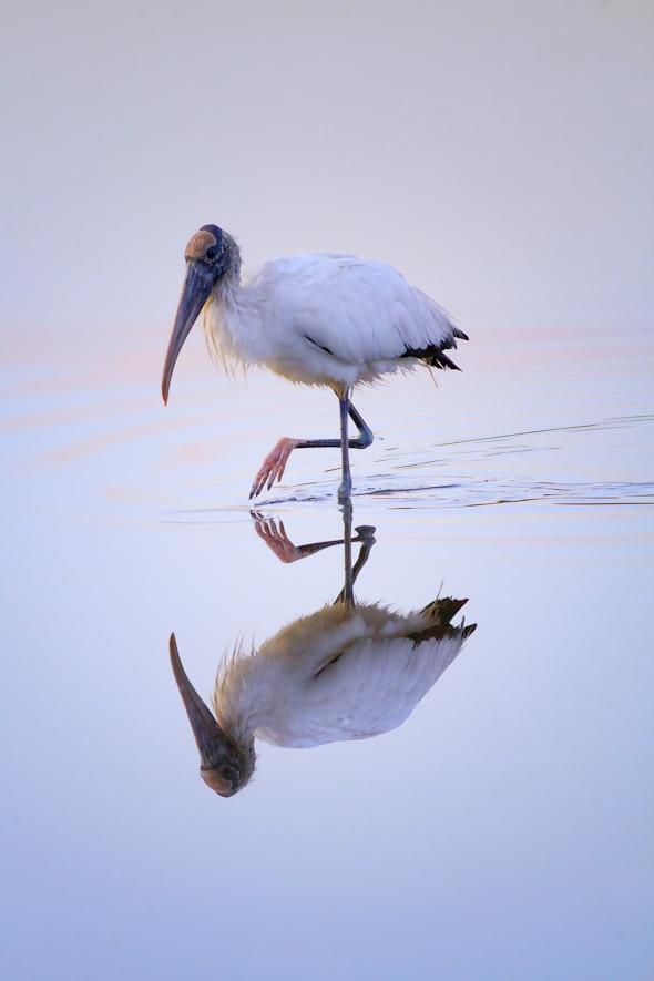 Wood Stork, Ding Darling Wildlife Refuge, Florida