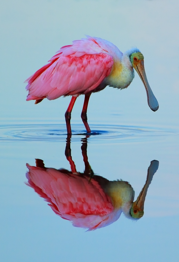 Roseate Spoonbill, Ding Darling Wildlife Refuge, Florida