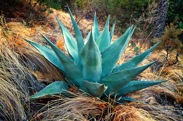 Agave, Big Bend National Park, Texas