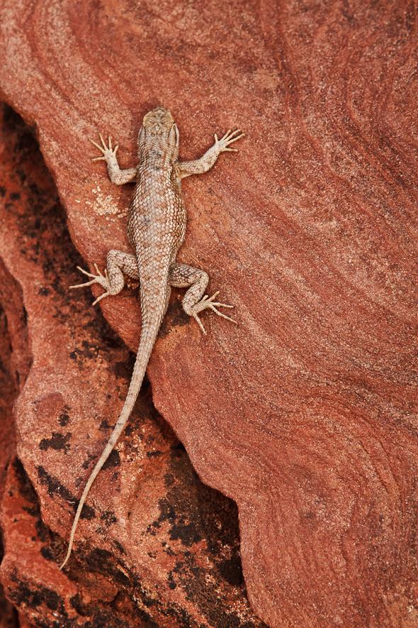 Lizard, Zion National Park, Utah