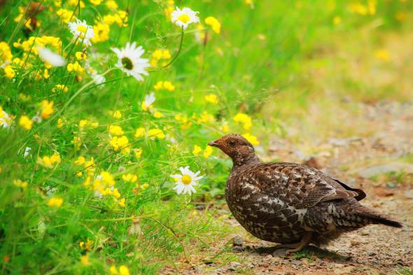 Sooty Grouse, Strathcona Park, Vancouver Island, British Columbia