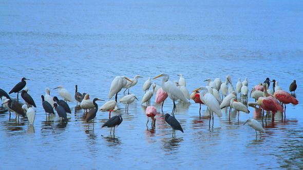 Wading Birds, Ding Darling Wildlife Refuge, Florida