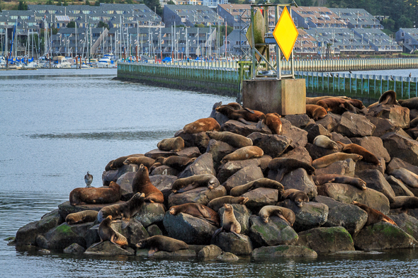 Sea Lions, Newport, Oregon