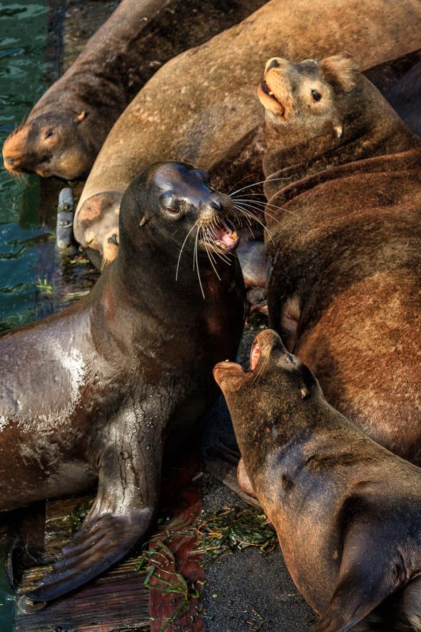 Sea Lions, Newport, Oregon