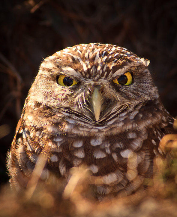 Burrowing owl at Cape Coral, Florida.