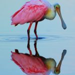Roseate Spoonbill, Ding Darling Wildlife Refuge, Florida.