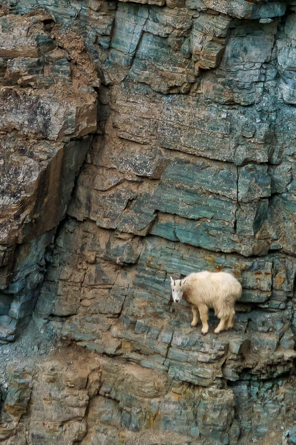 Goat, Glacier National Park, Montana