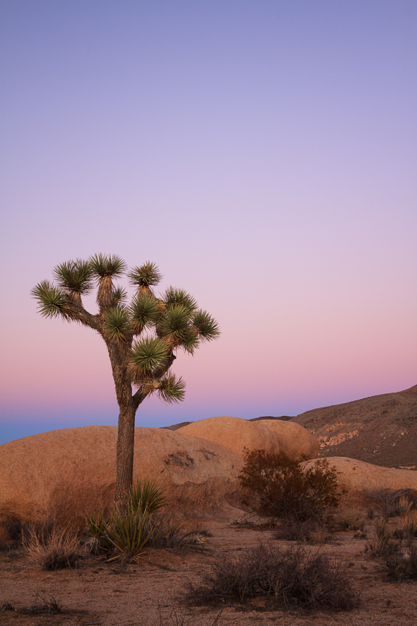 Lone Joshua Tree, Joshua Tree National Park, California
