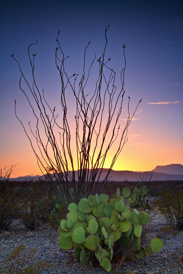 Cacti, Big Bend National Park, Texas