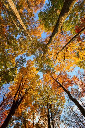 Autumn Trees, Virginia