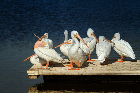 Pelicans at The Salton Sea