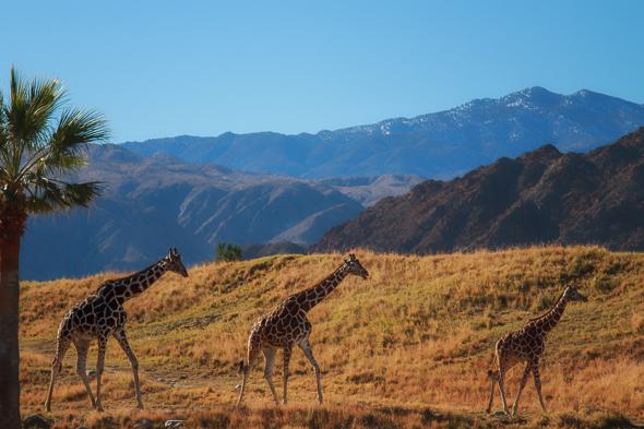Giraffes at the Living Desert Zoo, Palm Springs, California