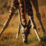 Feeding Giraffes at the Living Desert