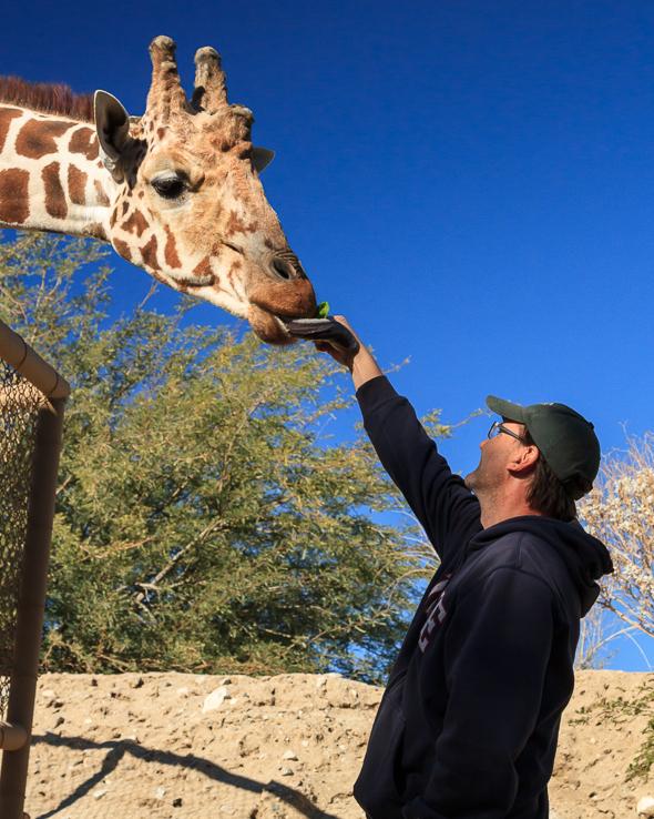 Giraffe at the Living Desert Zoo, Palm Springs, California