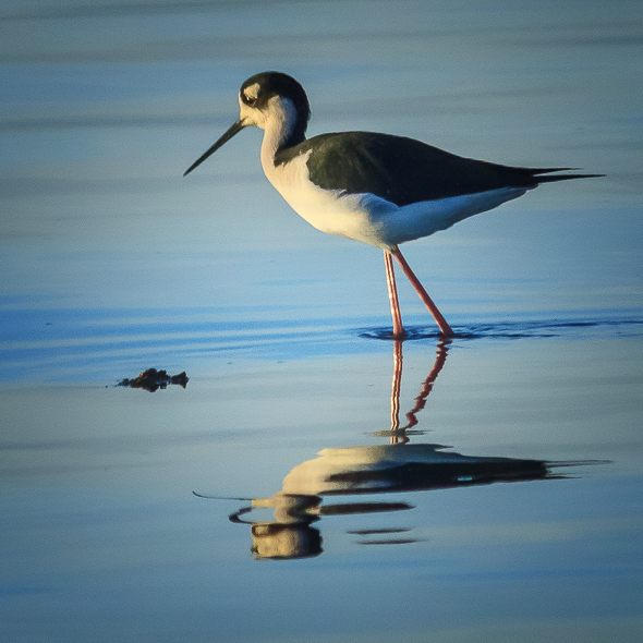 Black Necked Stilt, Salton Sea, California