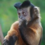 Tufted Capuchin at the San Diego Zoo, California.