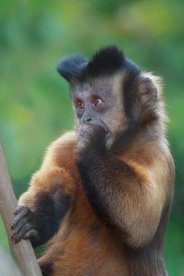 Tufted Capuchin at the San Diego Zoo, California.