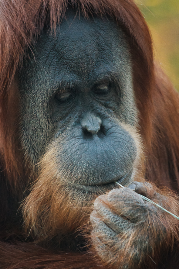 Female Orangutan, San Diego Zoo, California.