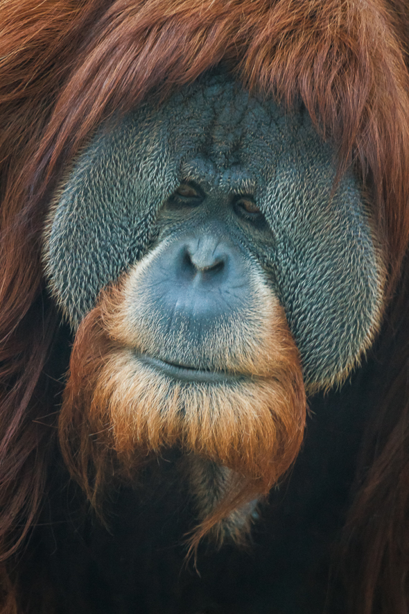 Male Orangutan, San Diego Zoo, California.